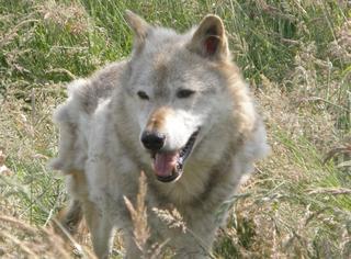 White gray wolf