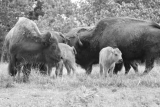 Black and white buffalo