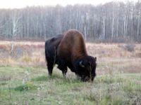 Elk island buffalo