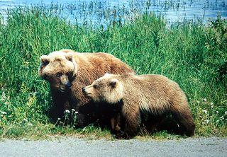 Griz mama and cub