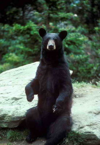 Black bear sitting