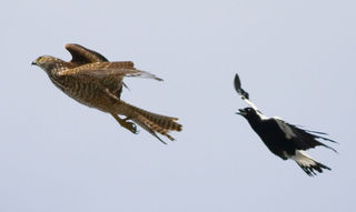 Magpie chasing hawk