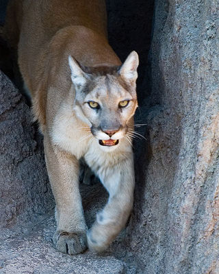Cougar in cave
