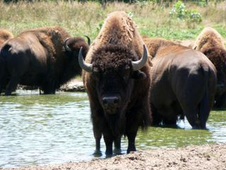 Buffalo watering hole