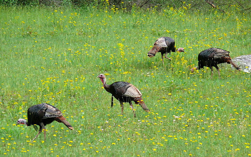 Turkeys in meadow