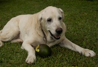 Avocado dog4_edited
