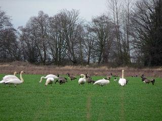 Swans skagit