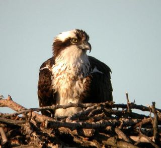Nest osprey_edited