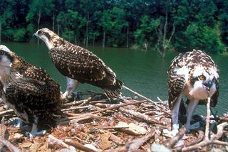 Three osprey