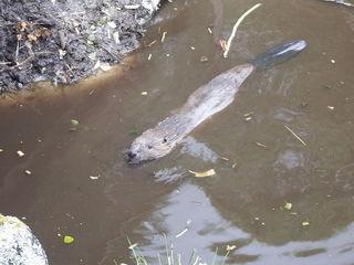 Beaverswimming2