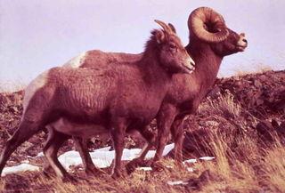 Bighorn Pair
