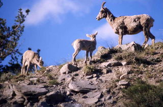 Bighorn and babies