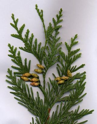 Cedar foliage with cones