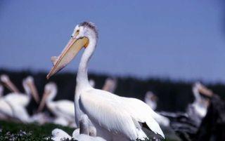 Pelican and nestlings