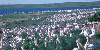 Pelicans at lake
