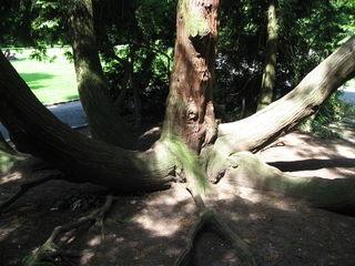 Cedar spread