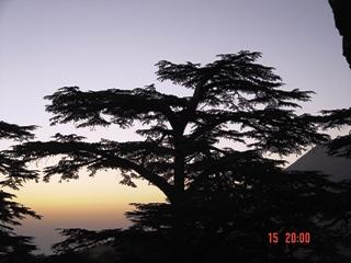 Cedar in shadow