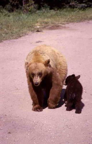 Black bear & cub - NPS